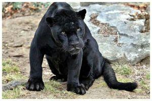 Tizon, a resident of the Saint Louis Zoo.
